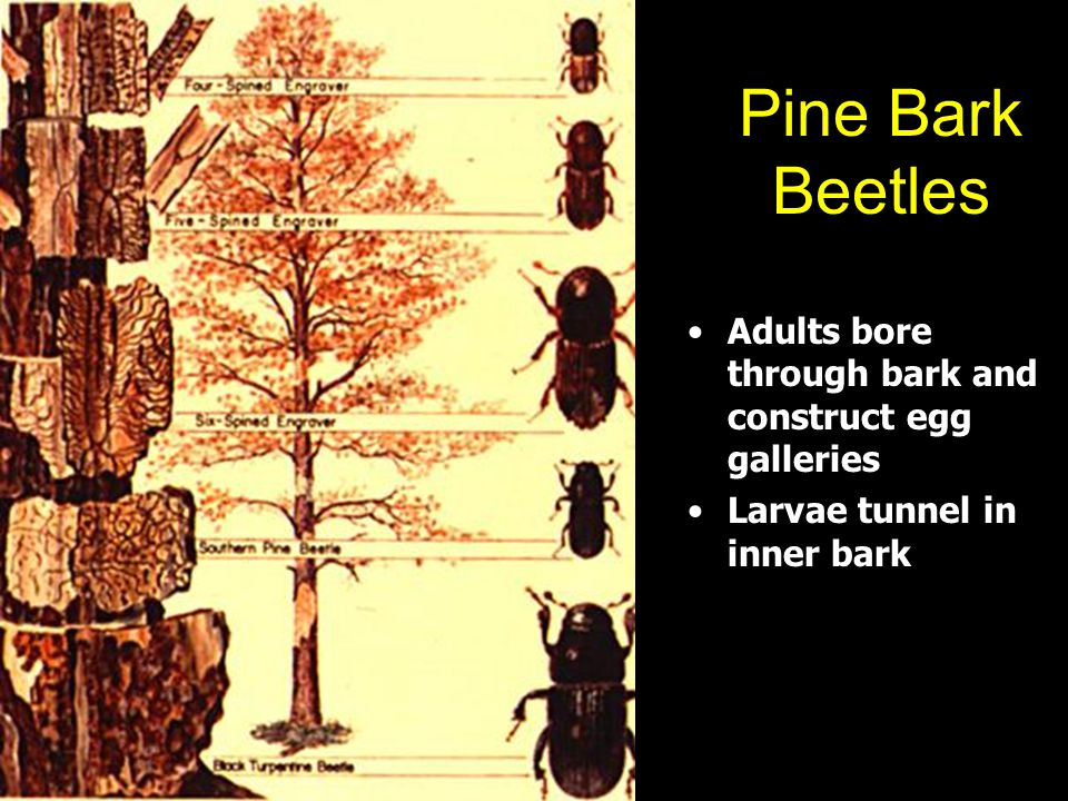 Pine Bark Beetles Adults bore through bark and construct egg galleries