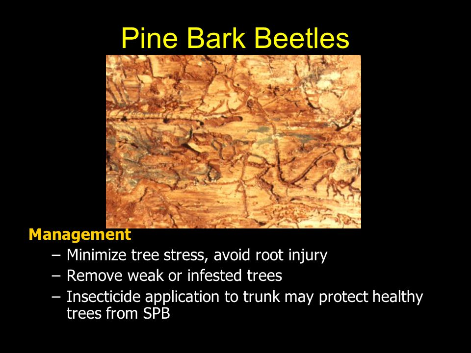 Pine Bark Beetles Management Minimize tree stress, avoid root injury