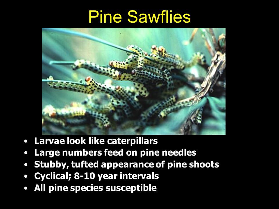 Pine Sawflies Larvae look like caterpillars