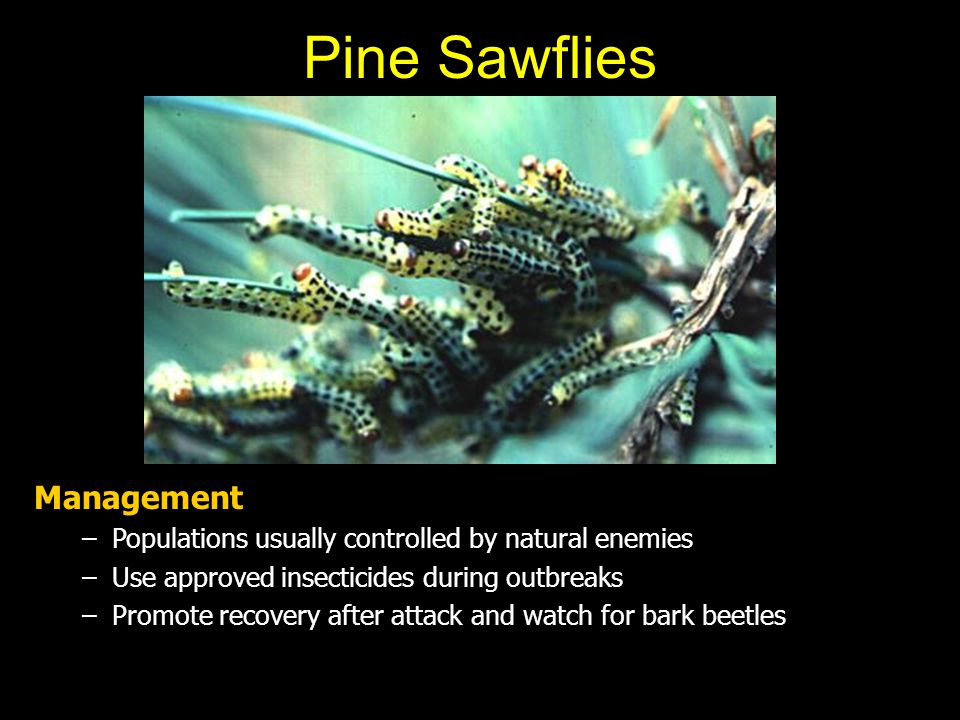Pine Sawflies Management