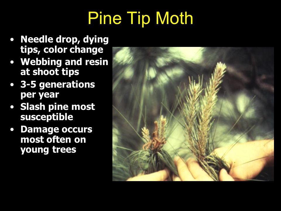 Pine Tip Moth Needle drop, dying tips, color change