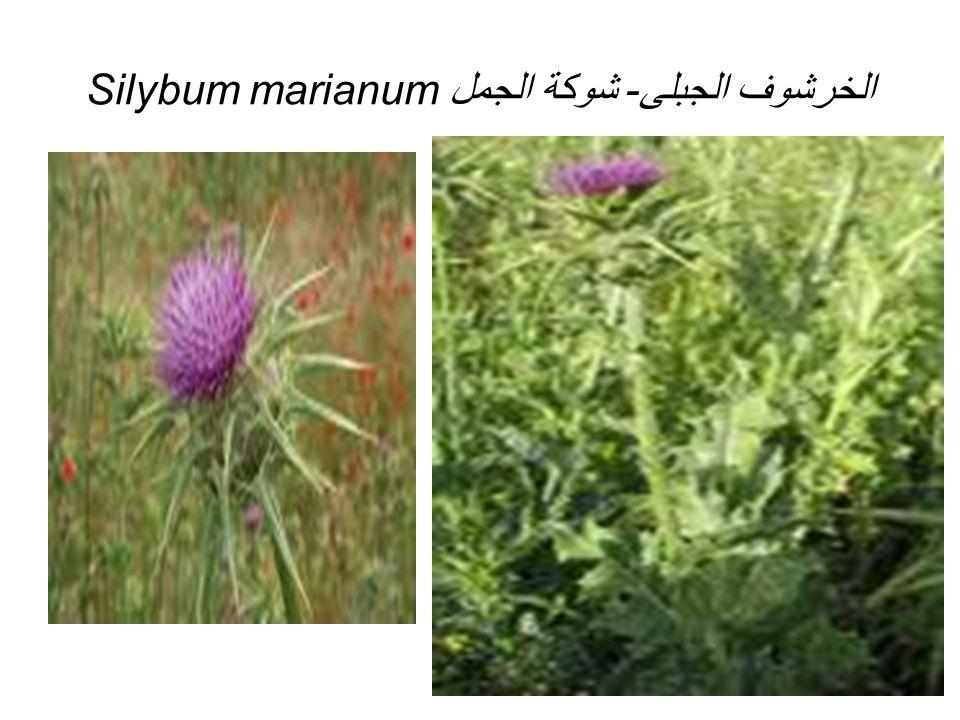 Silybum marianumالخرشوف الجبلى- شوكة الجمل