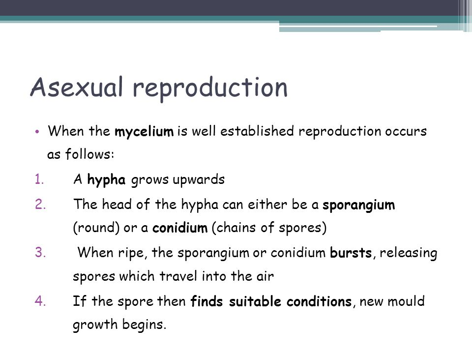 Asexual reproduction When the mycelium is well established reproduction occurs as follows: A hypha grows upwards.