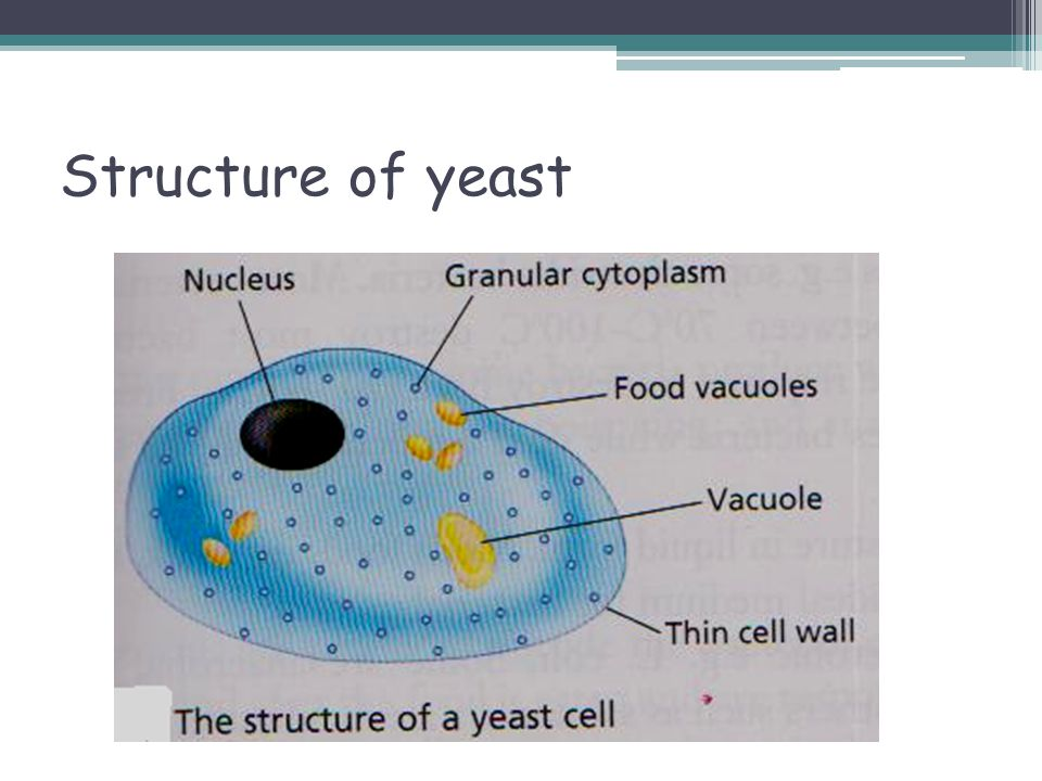Yeast Cell Structure Diagram Image collections - How To ...