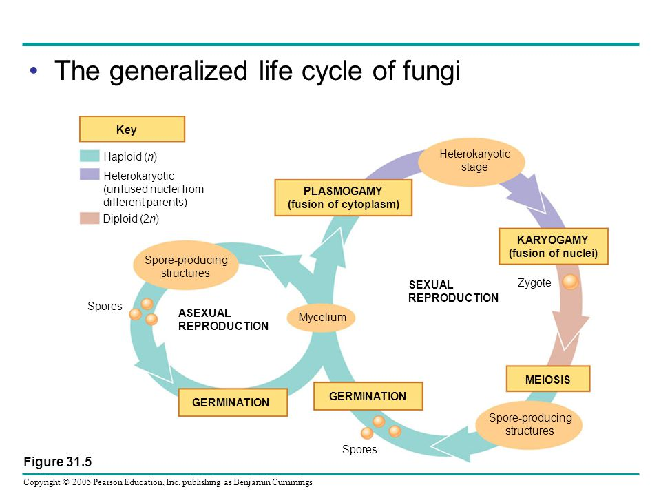 The generalized life cycle of fungi