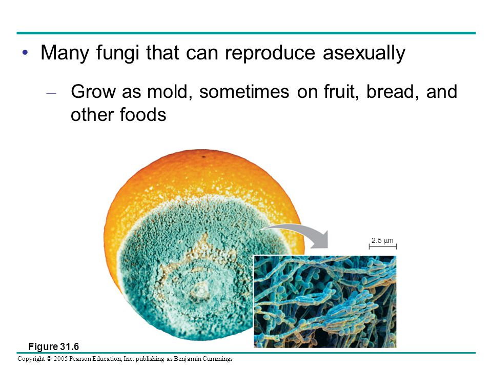 Many fungi that can reproduce asexually