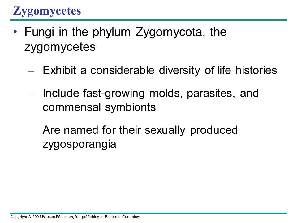 Fungi in the phylum Zygomycota, the zygomycetes
