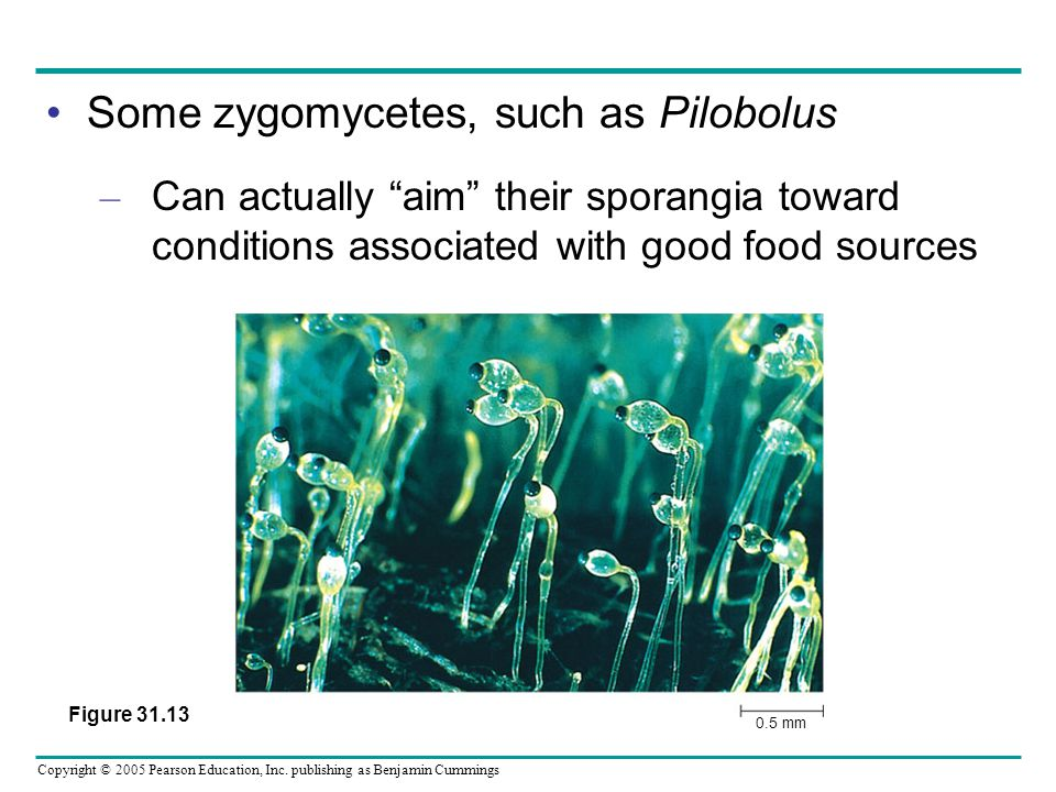 Some zygomycetes, such as Pilobolus
