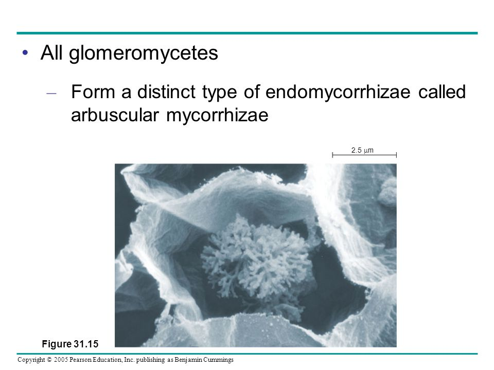 All glomeromycetes Form a distinct type of endomycorrhizae called arbuscular mycorrhizae.