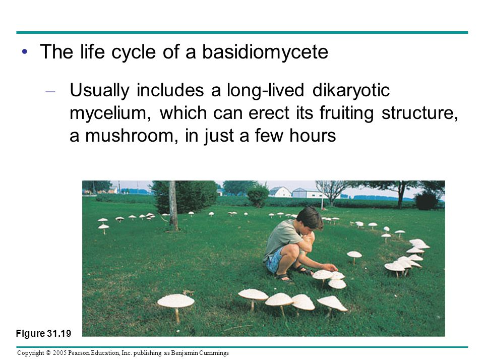 The life cycle of a basidiomycete