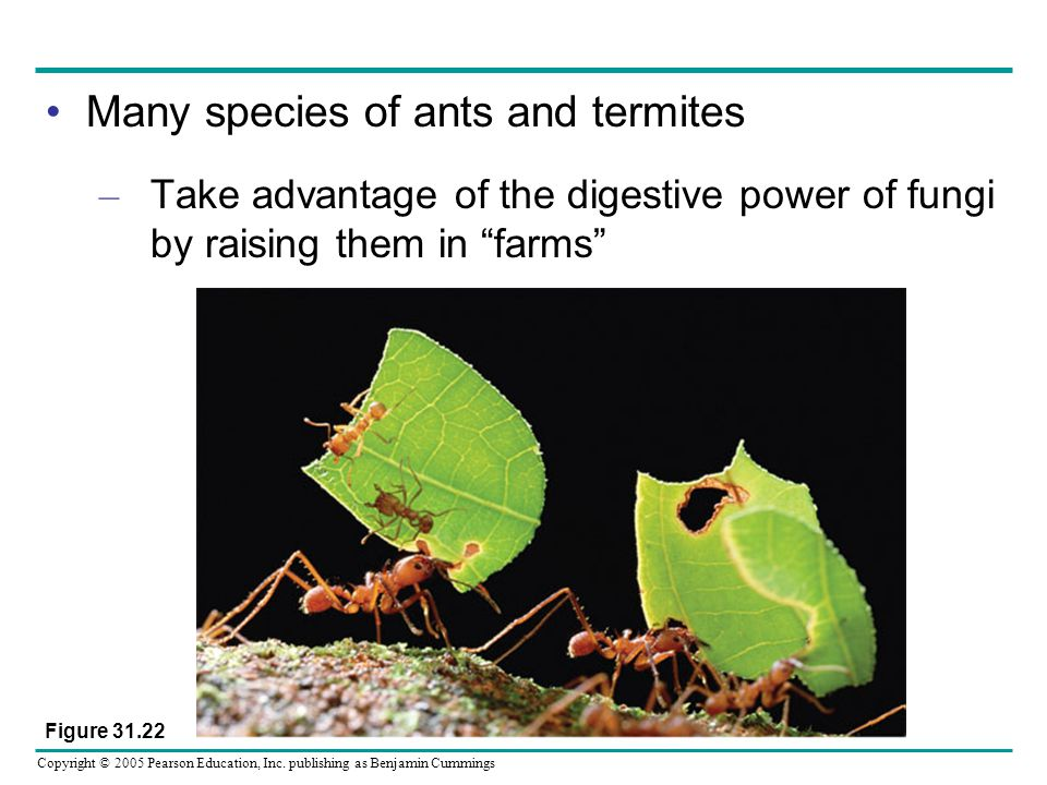 Many species of ants and termites