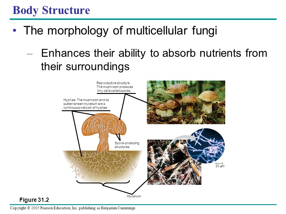 The morphology of multicellular fungi