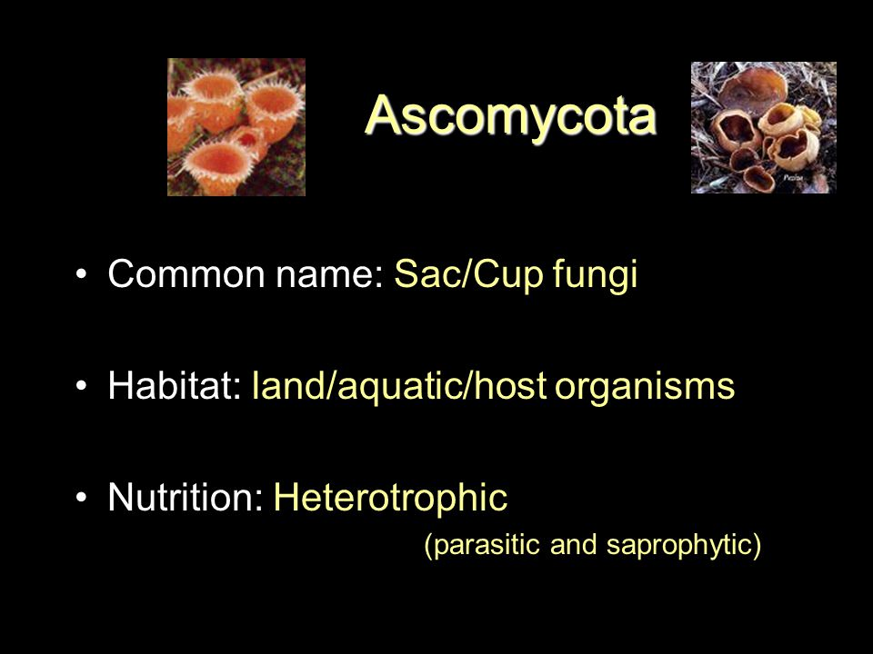 Phylum Ascomycota Common name: Sac/Cup fungi