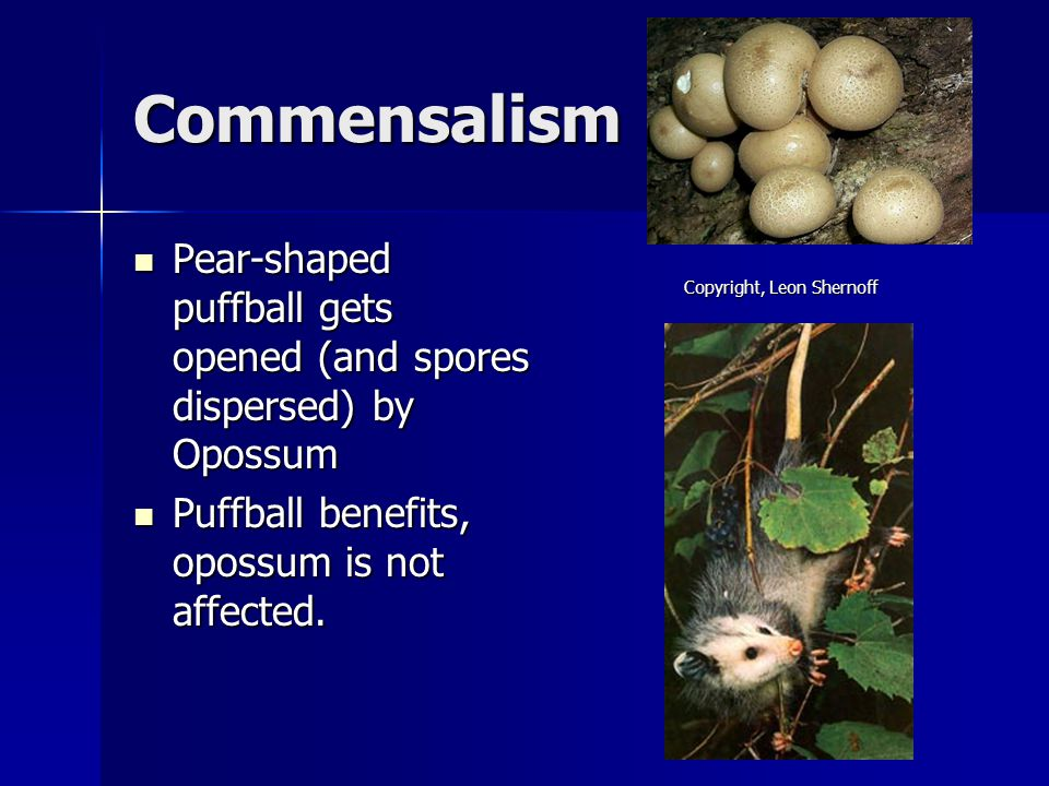 Commensalism Pear-shaped puffball gets opened (and spores dispersed) by Opossum. Puffball benefits, opossum is not affected.