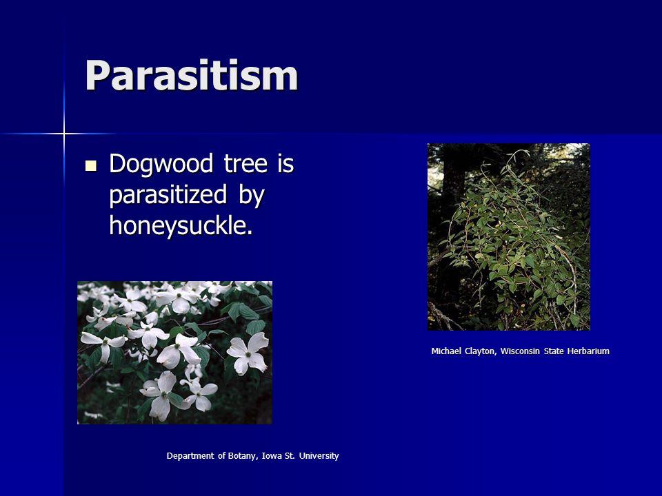 Parasitism Dogwood tree is parasitized by honeysuckle.