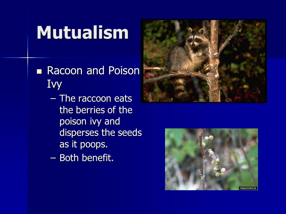 Mutualism Racoon and Poison Ivy
