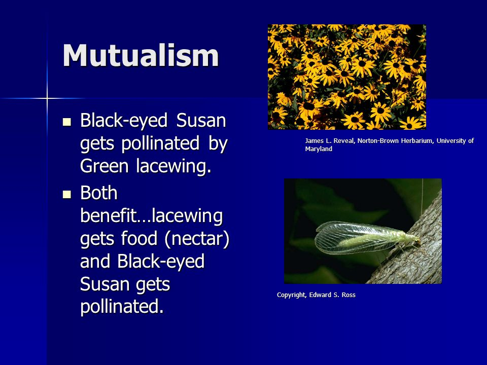Mutualism Black-eyed Susan gets pollinated by Green lacewing.