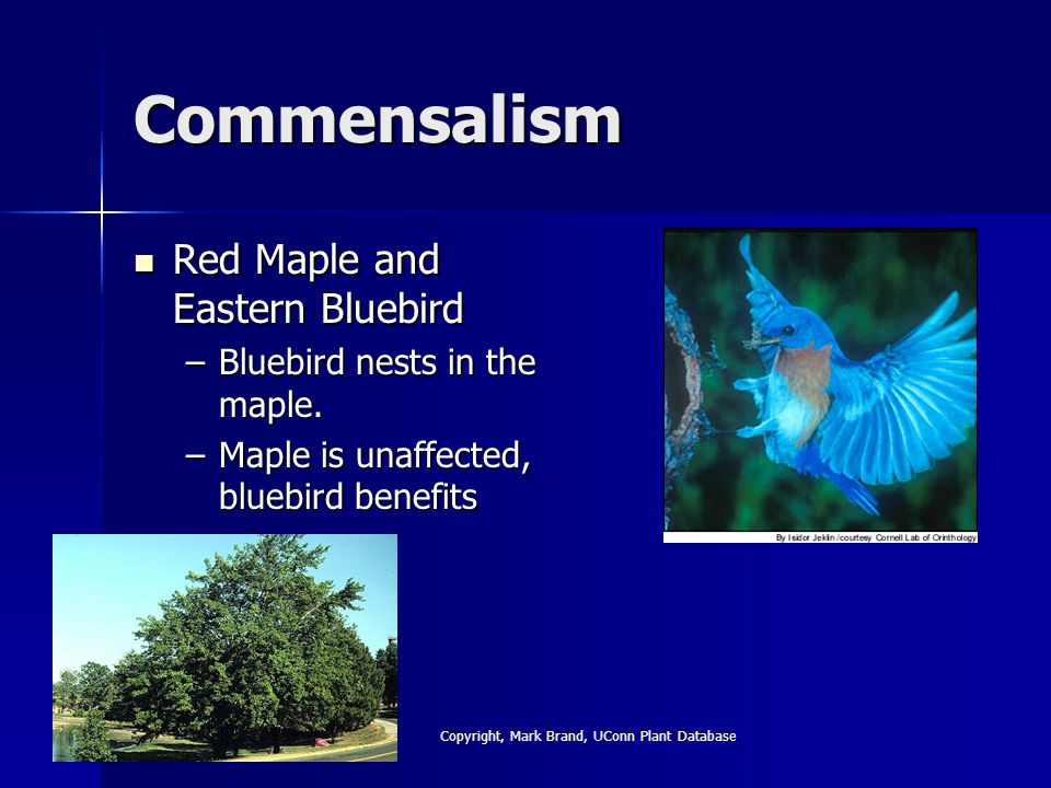 Commensalism Red Maple and Eastern Bluebird