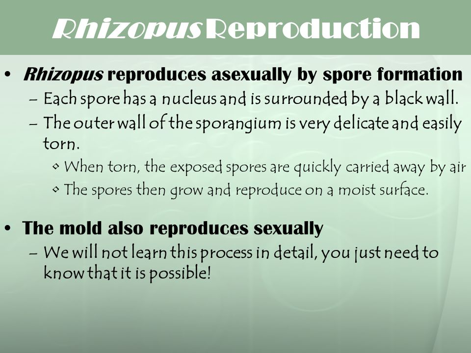 Rhizopus Reproduction