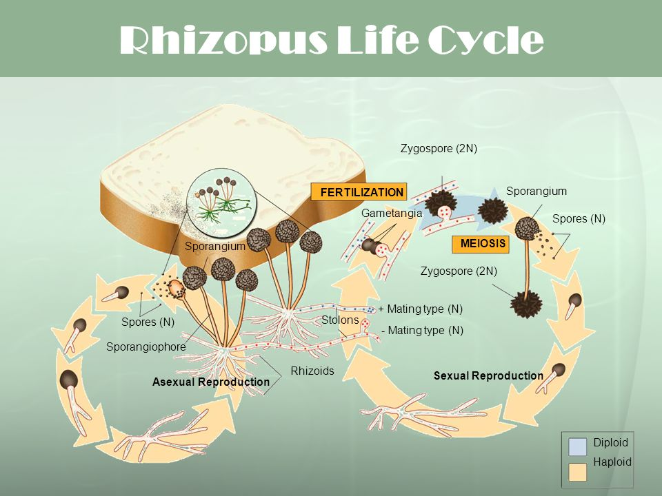 Rhizopus Life Cycle FERTILIZATION Sporangium Gametangia Spores (N)