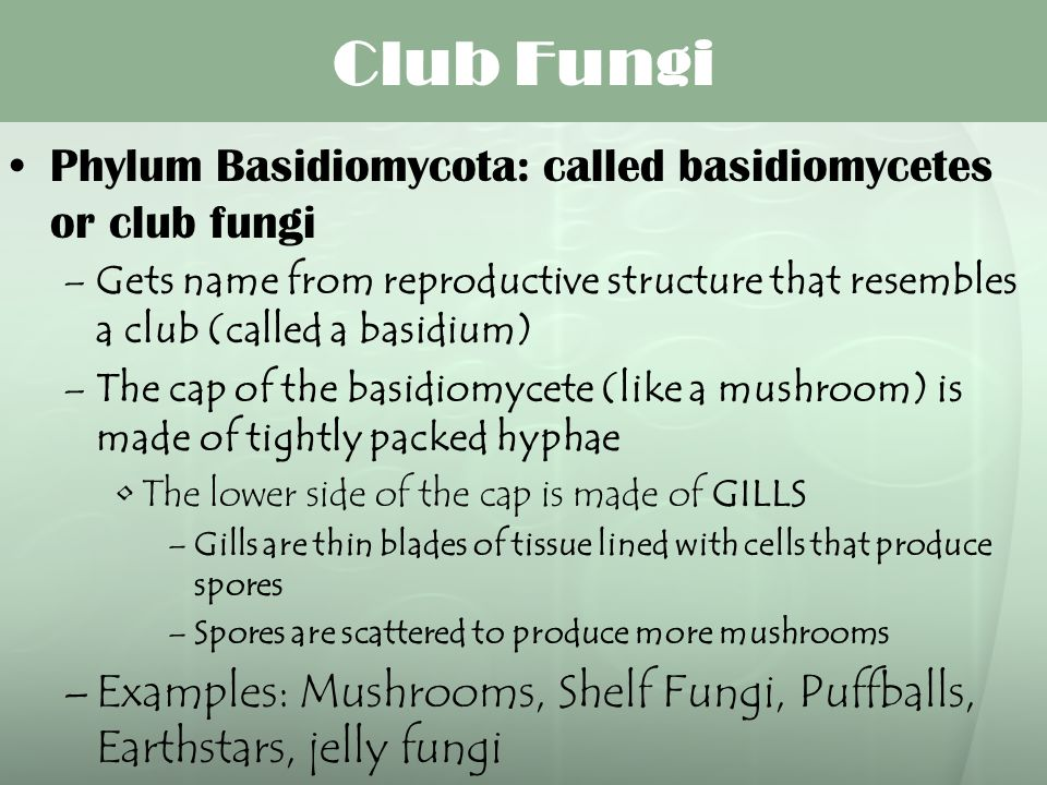 Club Fungi Phylum Basidiomycota: called basidiomycetes or club fungi