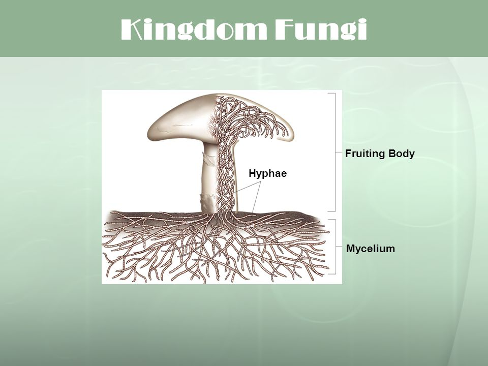 Kingdom Fungi Fruiting Body Hyphae Mycelium