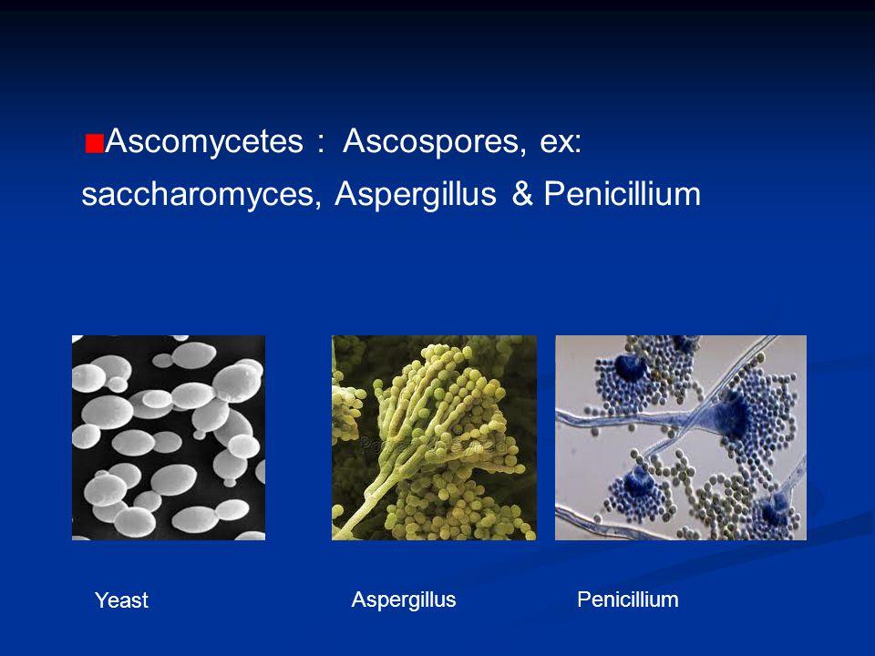 Ascomycetes : Ascospores, ex: saccharomyces, Aspergillus & Penicillium