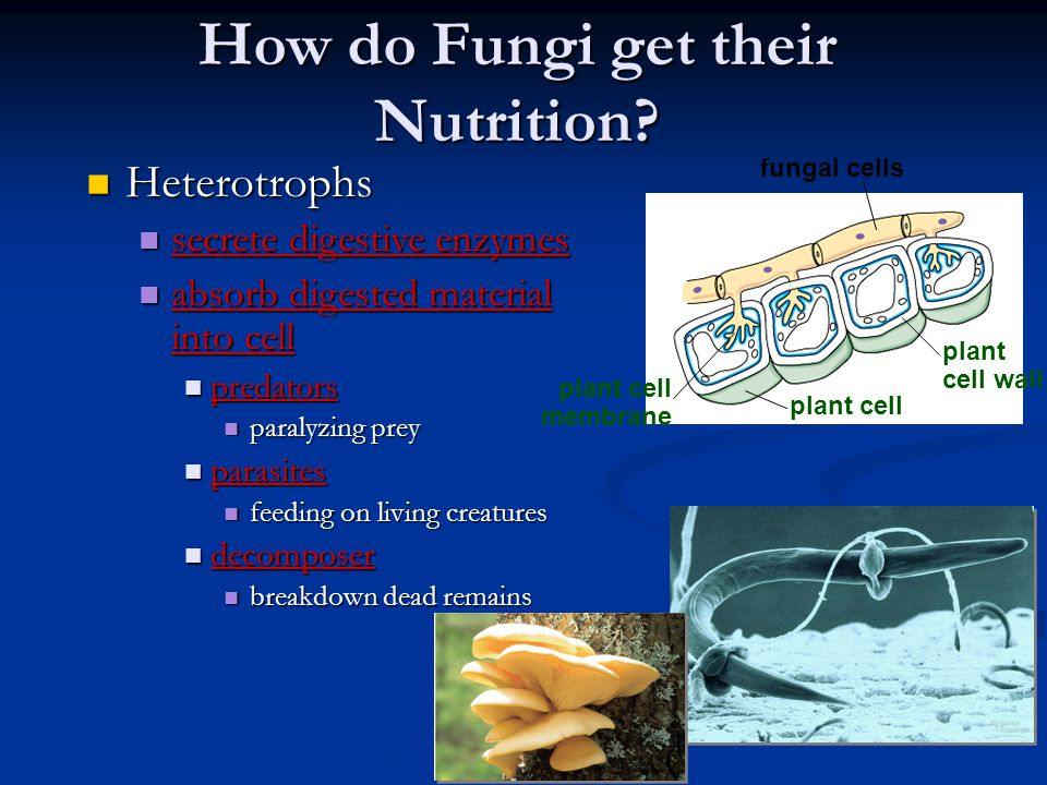 How do Fungi get their Nutrition