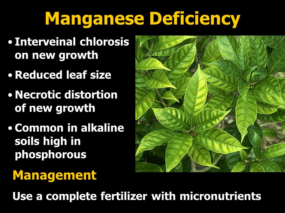 Manganese Deficiency Management Interveinal chlorosis on new growth