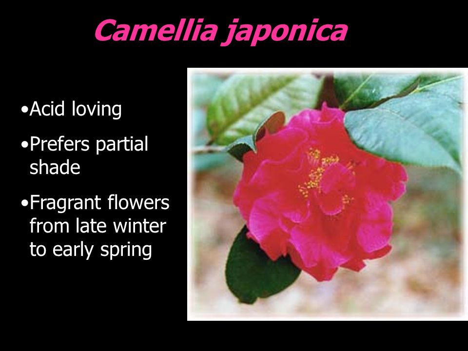 Camellia japonica Acid loving Prefers partial shade