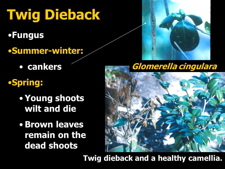 Twig Dieback Fungus Summer-winter: cankers Spring: