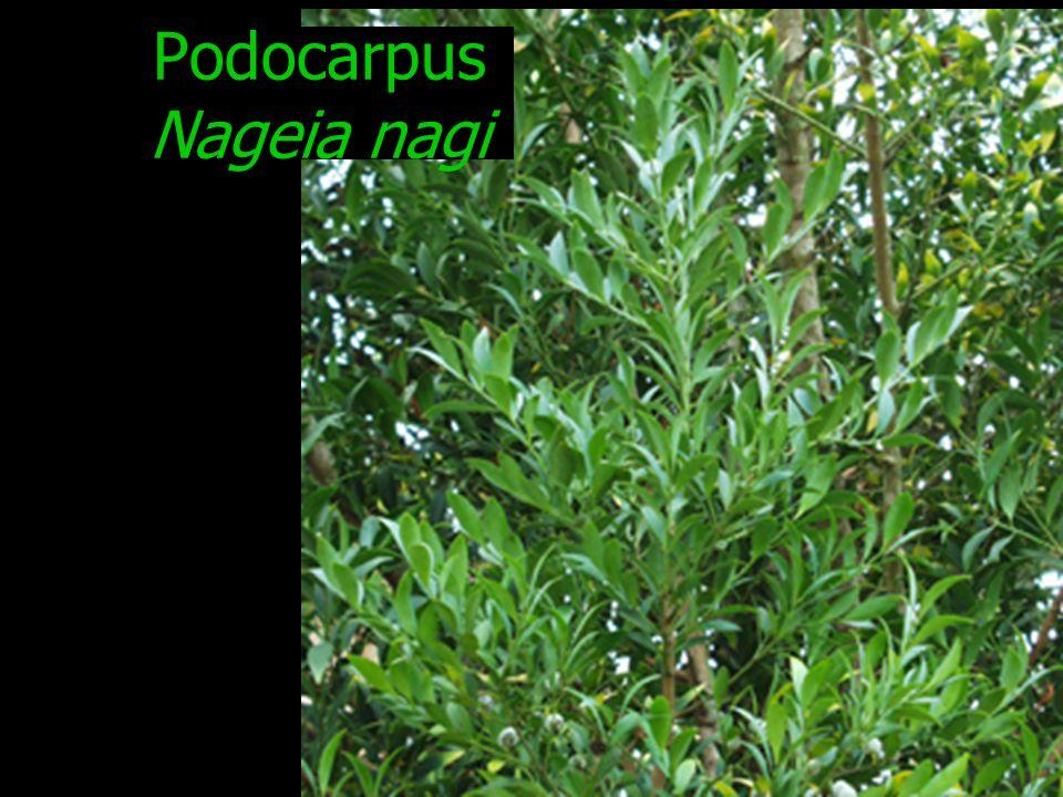 Podocarpus Nageia nagi