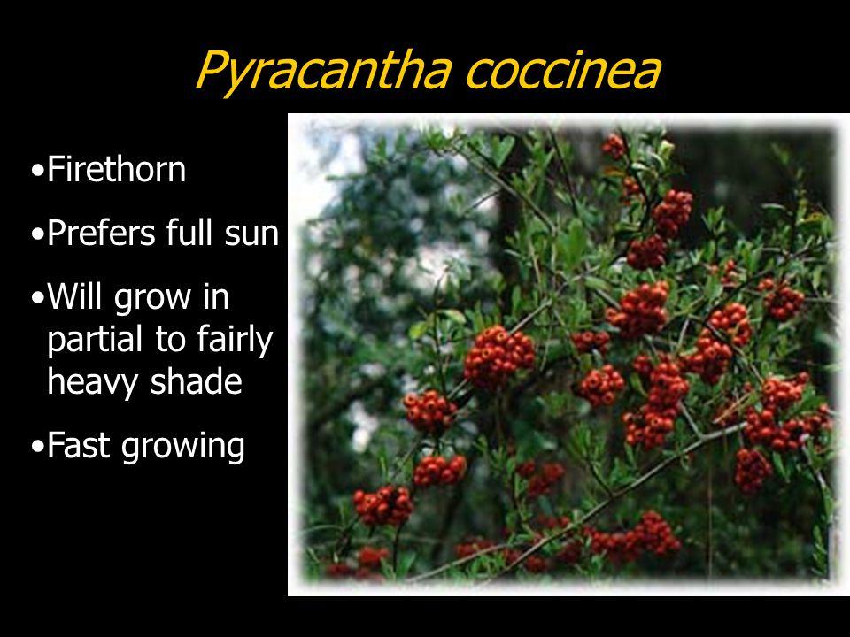 Pyracantha coccinea Firethorn Prefers full sun