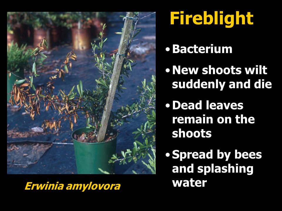 Fireblight Bacterium New shoots wilt suddenly and die