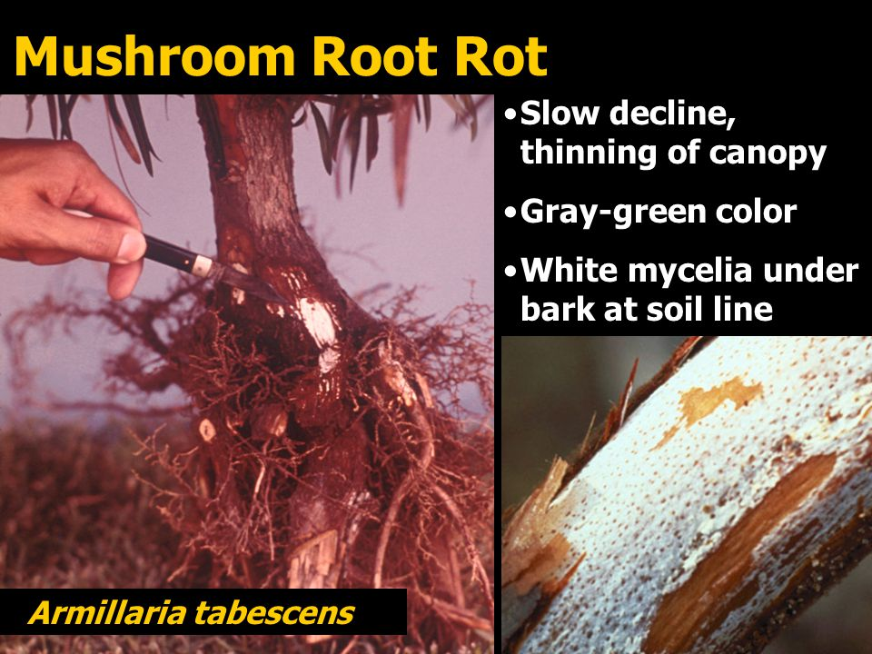 Mushroom Root Rot Slow decline, thinning of canopy Gray-green color