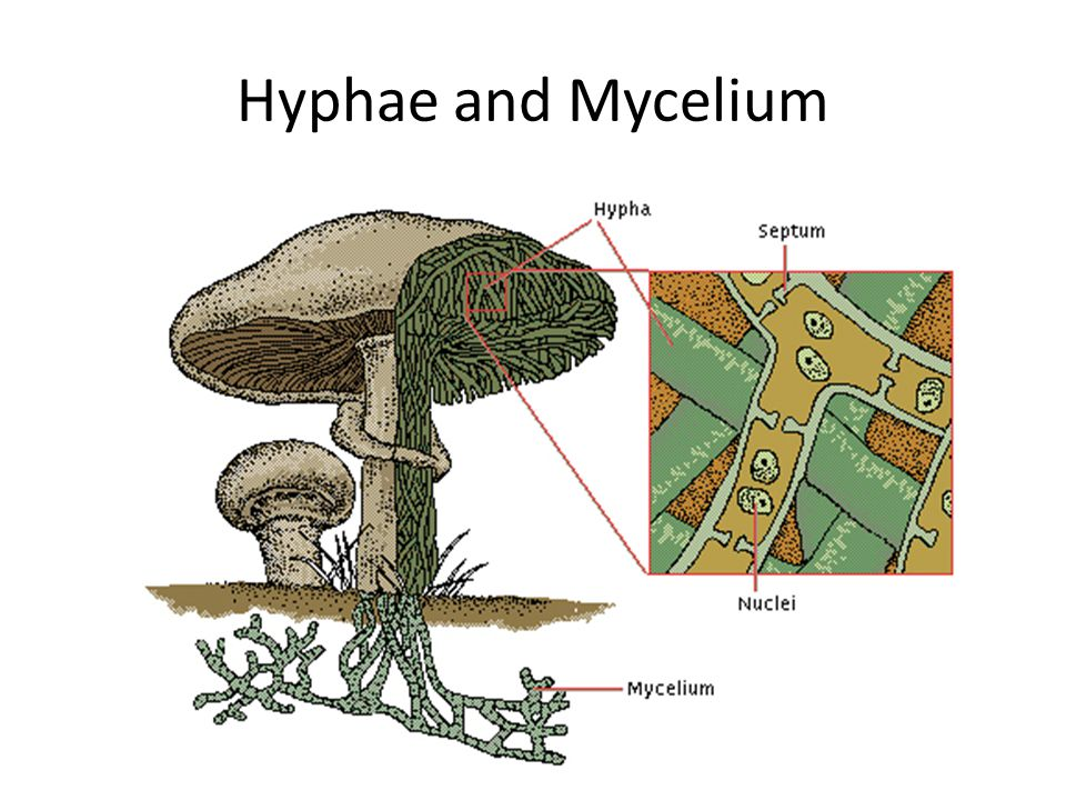 hyphae and mycelium relationship test
