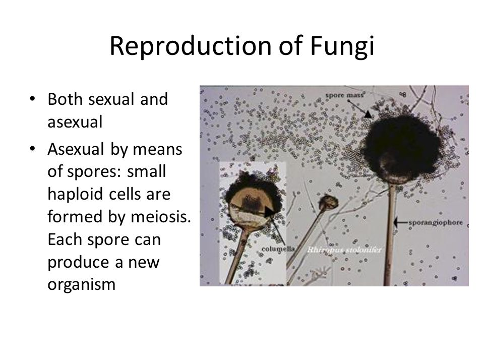 Reproduction of Fungi Both sexual and asexual