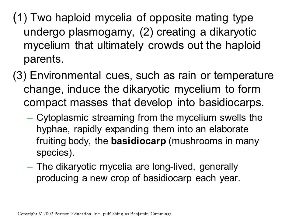 (1) Two haploid mycelia of opposite mating type undergo plasmogamy, (2) creating a dikaryotic mycelium that ultimately crowds out the haploid parents.