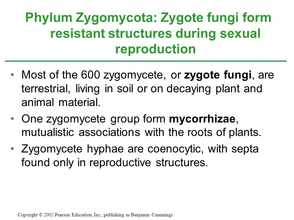 Phylum Zygomycota: Zygote fungi form resistant structures during sexual reproduction
