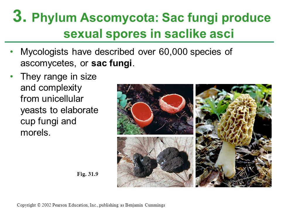 3. Phylum Ascomycota: Sac fungi produce sexual spores in saclike asci