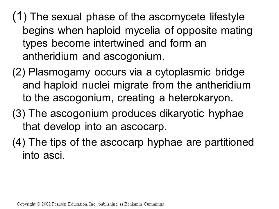 (1) The sexual phase of the ascomycete lifestyle begins when haploid mycelia of opposite mating types become intertwined and form an antheridium and ascogonium.