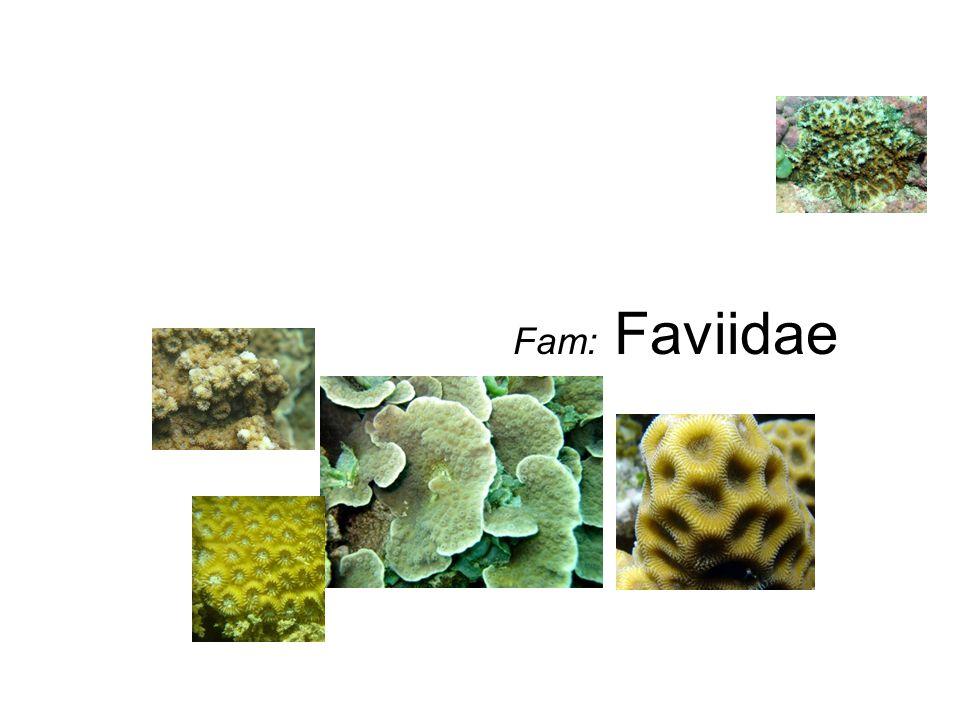 Fam: Faviidae