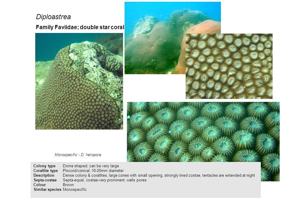 Diploastrea Family Faviidae; double star coral