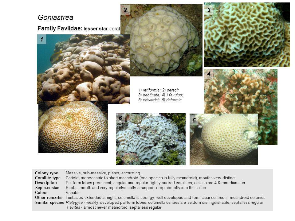 Goniastrea 2 3 Family Faviidae; lesser star coral 1 4 6 5
