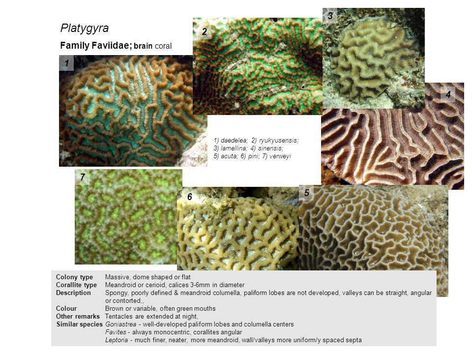 Platygyra 3 2 Family Faviidae; brain coral 1 4 7 5 6