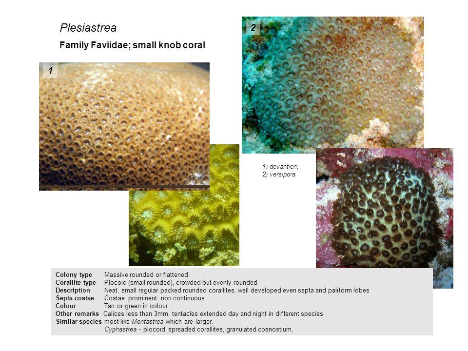 Plesiastrea 2 Family Faviidae; small knob coral 1 1) devantieri;