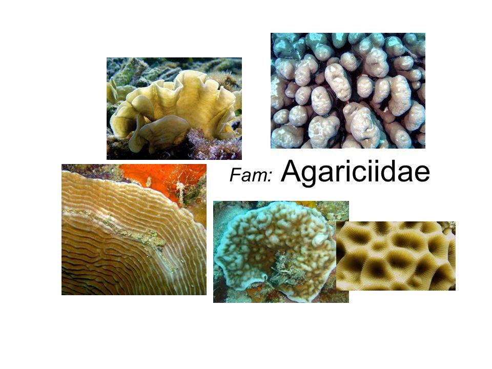 Fam: Agariciidae