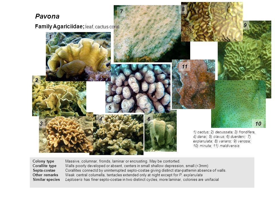 Pavona 8 7 Family Agariciidae; leaf, cactus coral 9 1 11 2 5 4 6 3 10