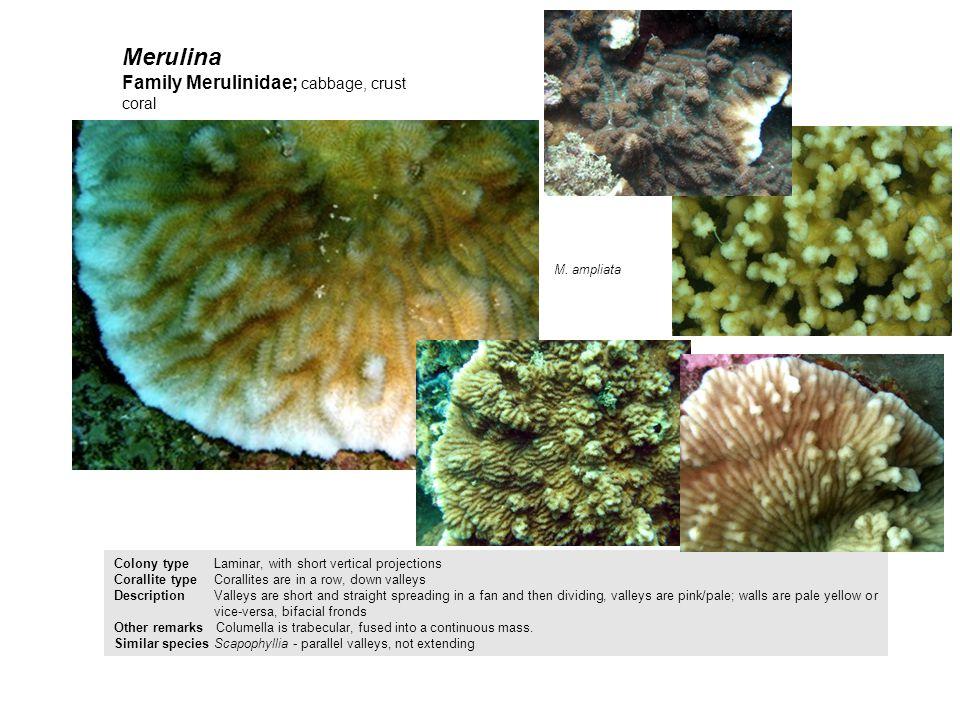 Merulina Family Merulinidae; cabbage, crust coral M. ampliata