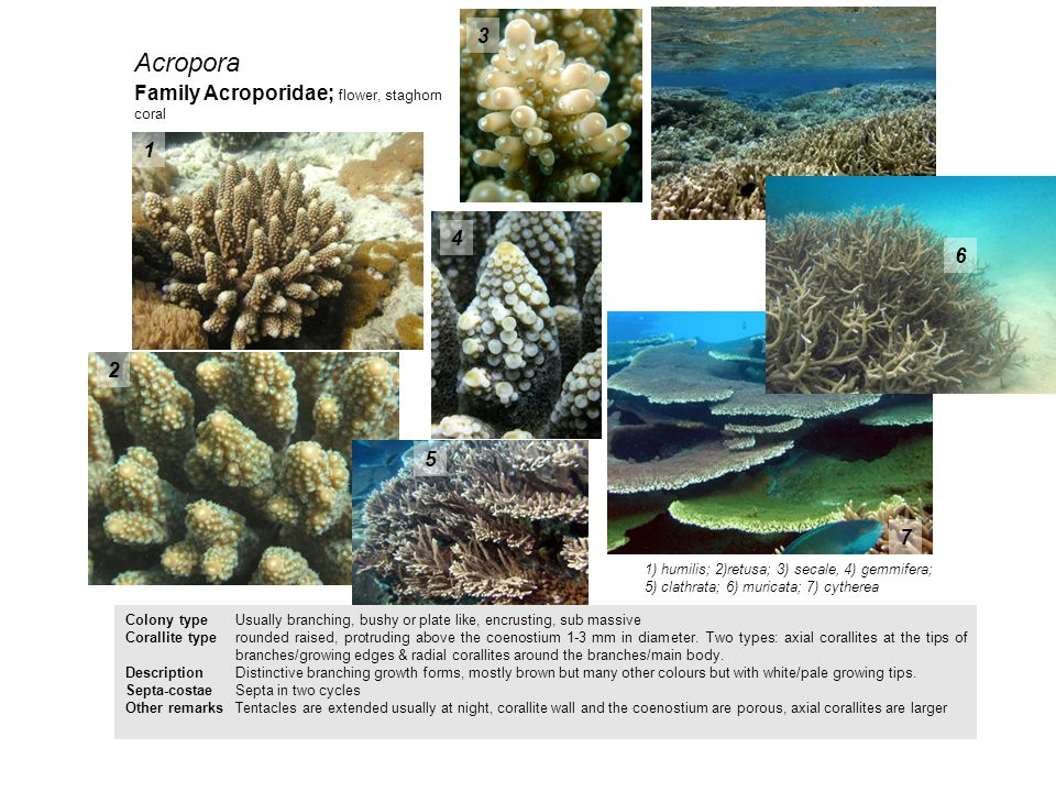 Acropora 3 Family Acroporidae; flower, staghorn coral 1 4 6 2 5 7